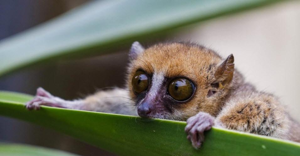 na-terceira-colocacao-do-ranking-das-especies-que-podem-entrar-em-extincao-a-partir-de-2015-segundo-a-ong-norte-americana-mother-nature-network-esta-o-lemure-esportivo-do-norte-dados-da-iucn-1421971649220_956x500