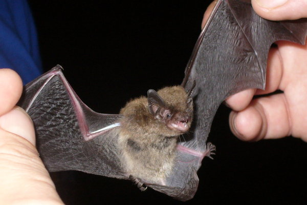 the_rare_indiana_bat_by_immortal_grace